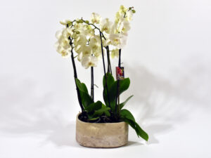 Duo orchidee